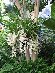La orquídea Cascada de Hielo o Sara Jean 3