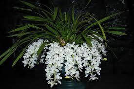 La orquídea Cascada de Hielo o Sara Jean 5