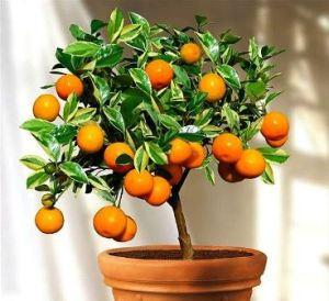 Calamondín: Naranjo miniatura 4