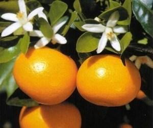 Calamondín: Naranjo miniatura 3