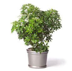 schefflera-arboricola
