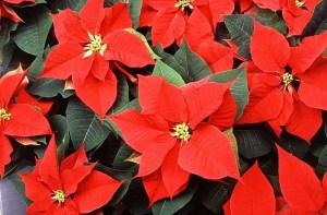 flor-de-navidad