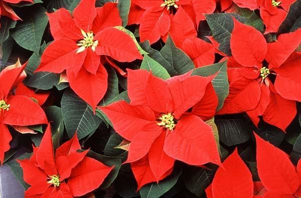 Plantas ideales para la Navidad