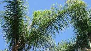 30-semillas-de-coco-plumoso-pindo-syagrus-romanzoffiana-20930-MLM20200041165_112014-F