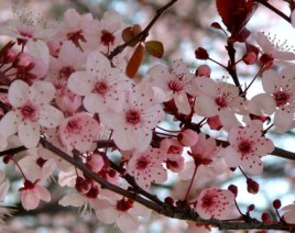 Plum-blossoms