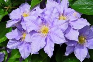 clematis-flor-ornamental