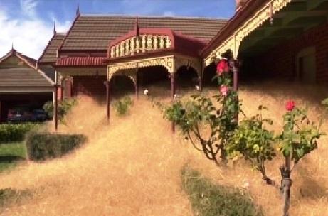 Hierba peluda de Wangaratta
