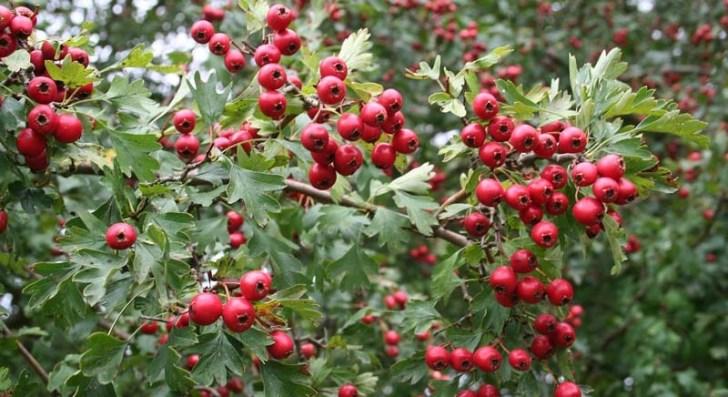 fruto-del-crataegus