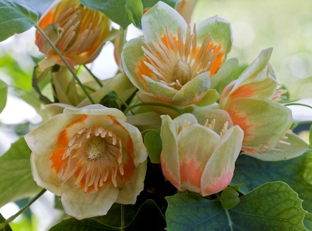 El árbol de las tulipas