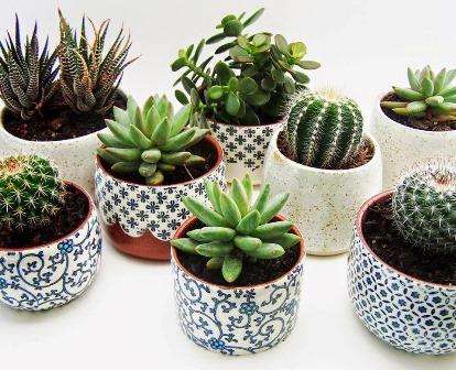 Riego de cactus y suculentas en verano