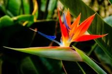 Flor del paraíso - plantas costeras