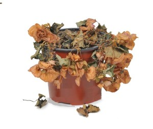 33981776-wilted-plant-in-flowerpot-stock-photo