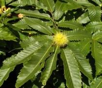 hojas de castaño común