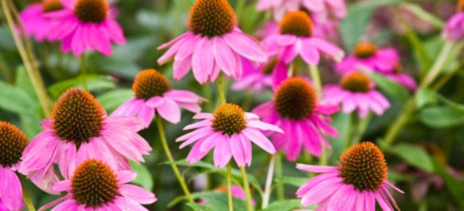 Equinacea: una planta otoñal muy beneficiosa