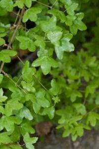 arce-de-montpellier-hojas