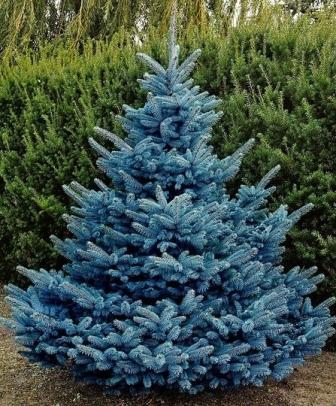 Picea Pungens Oldenburg