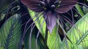 Tacca chantriedri: la orquídea murciélago