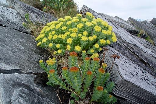 Rhodiola Rosea: una planta contra la depresión