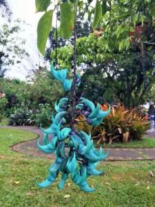 Enredadera flor de jade