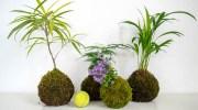 Kokedamas: otra forma de cultivo