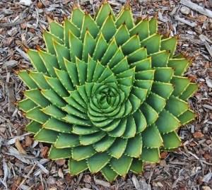 Aloe espirulado