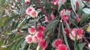 Hakea Laurina o flor alfiletero