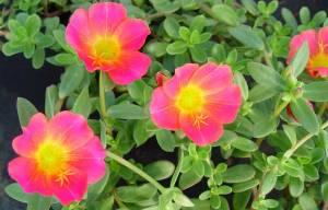Verdolaga-rosa