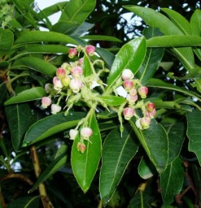 Flores madroño canario