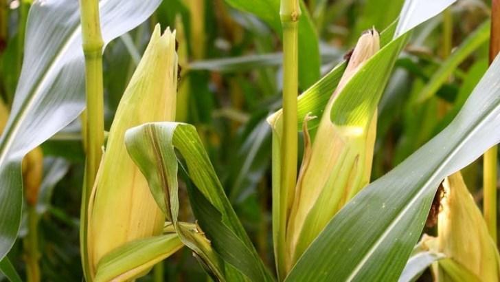 Descubierto un gen que aumenta el crecimiento de las plantas