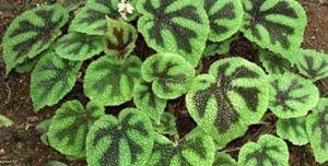 Begonia M