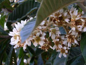 Flor nispero