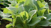 Borraja, una planta llena de propiedades