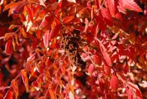 Rhus coriaria_otoño