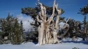 El árbol más antiguo del mundo