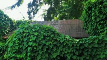 Plantas trepadoras: ¿cómo se sujetan?