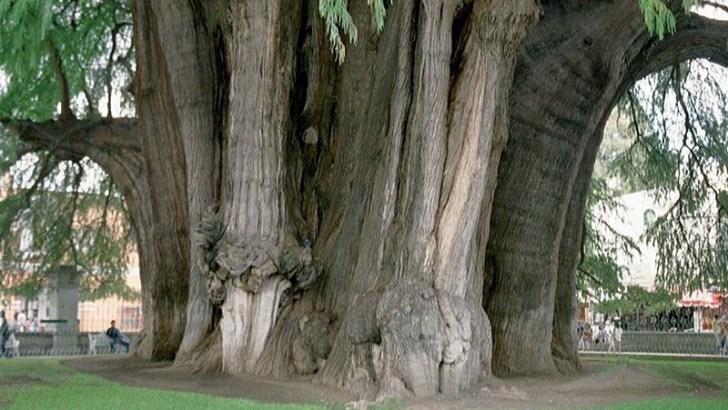 El árbol más ancho del mundo