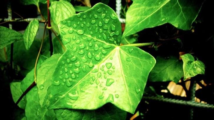 planta
