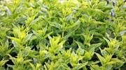 Consejos sobre las plantas aromáticas