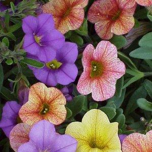 Calibrachoa Hybrida, para jardines soleados