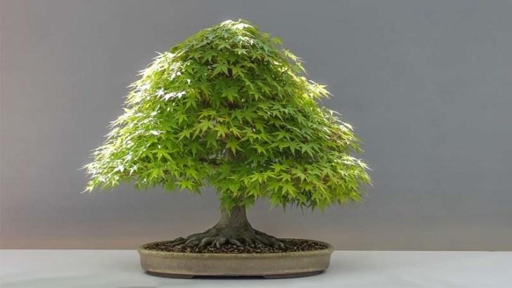 Cuidados básicos de un bonsái de interior