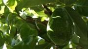 Plantas clonadas y aguacates