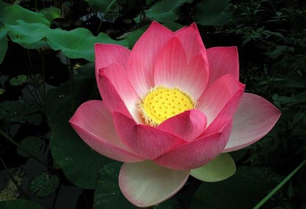 Nelumbo Nucifera: Flor de loto