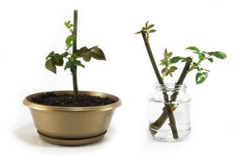 Cómo elegir esquejes de tallo para trasplantar plantas