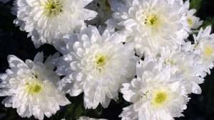 flores-para-el-dia-de-los-difuntos
