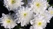 Las flores más comunes para llevar al cementerio