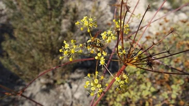 Se descubre en Turquía una nueva planta