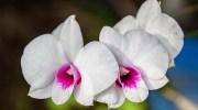 Cómo hacer que las orquídeas florezcan de nuevo