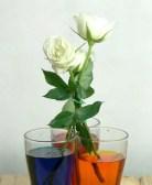 rosas color