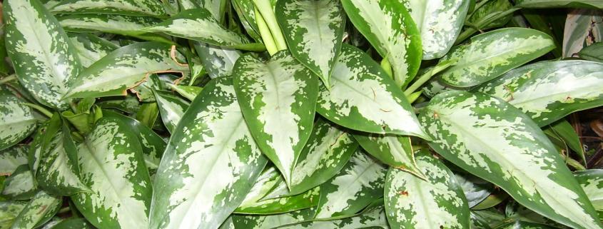 aglaonema-low-light-indoor-plants