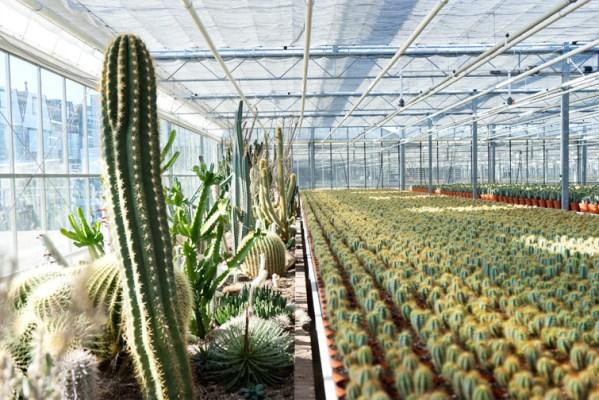 cactussen kwekerij